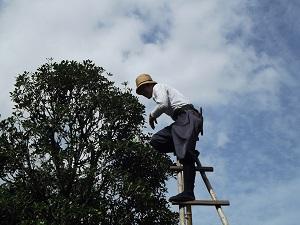 Mann mit Leiter und Akku Astschere am Baum